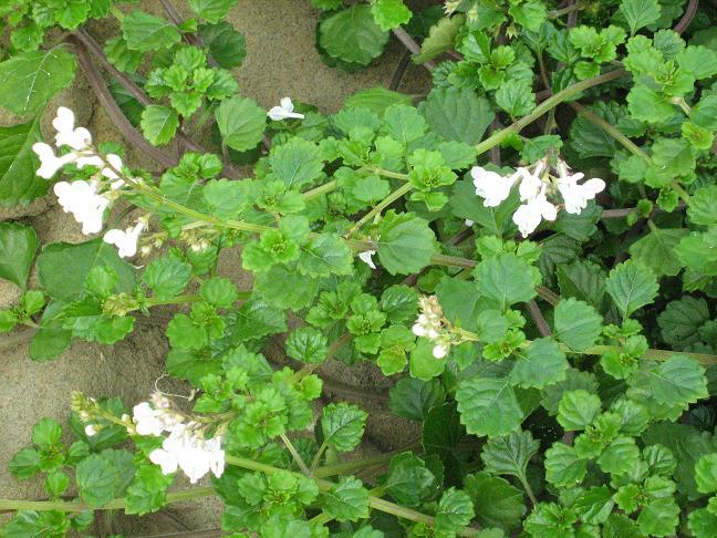 Plectranthus fruticosus  Reumaplant  tuinadviesnl